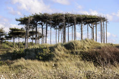 Treescape. Unusual tree formation at Formby Sands Royalty Free Stock Image