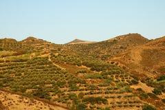 Treeses verde oliva dall'isola della Grecia Fotografie Stock Libere da Diritti