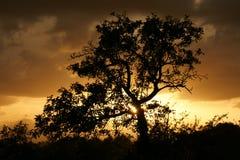 Treesilhouette på solnedgången Arkivbild