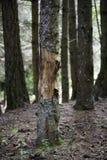 Treeskäll Arkivfoto