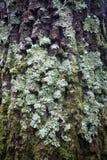 Treeskäll med lavar royaltyfria bilder