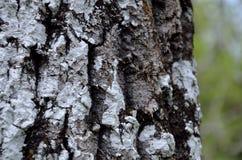 Treeskäll med lavar Royaltyfri Foto
