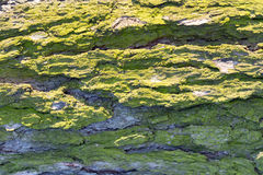 Treeskäll med lavar fotografering för bildbyråer
