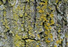 Treeskäll med moss naturlig textur arkivbilder