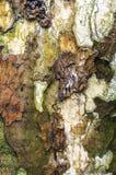 Treeskäll för amerikansk Sycamore Royaltyfri Foto