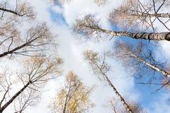 Treesna mot skyen Royaltyfri Fotografi
