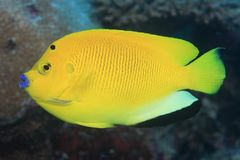 Treespot angelfish (Apolemichthys trimaculatus) Stock Photo