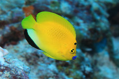 Treespot angelfish Royalty Free Stock Photos