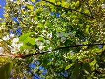 Treespring blomma för hägg fotografering för bildbyråer