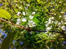 Treespring blomma för hägg royaltyfria bilder