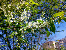 Treespring blomma för hägg Arkivfoto