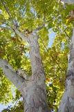 treestam Royaltyfria Bilder