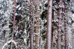 Treestammar i wild skog i vinter Arkivbild
