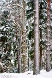 Treestammar i wild skog i vinter Royaltyfri Bild