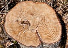 Treestubbe med cirklar Arkivbilder