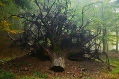 Treestubben med rotar royaltyfri fotografi