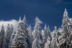 treesvinter Arkivbilder