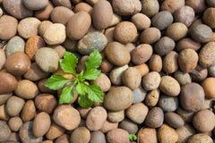 Treetillväxt från pebbles Royaltyfri Foto