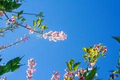 Treetop цветорасположения красочного пинка Сакуры цветет картины природы зацветая на ясной предпосылке голубого неба стоковое изображение
