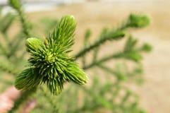 Treetop του δέντρου Araucariaceae Στοκ Φωτογραφίες