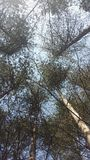Treetop των πεύκων Στοκ Φωτογραφία