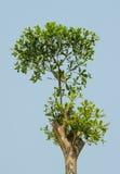 Treetop Стоковые Изображения RF