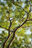 Treetop Royalty Free Stock Photo
