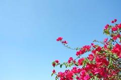 Treetop av den rosa bougainvillean arkivfoto