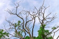 Treetop with bare and green branches Royalty Free Stock Image