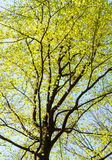 Treetop of a beech in spring Royalty Free Stock Photography