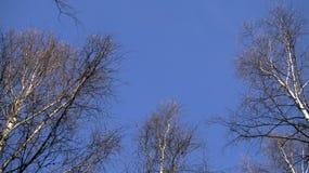 Treetop-Birkenwald in Richtung zum Himmel Lizenzfreie Stockfotos
