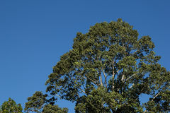 Treetop in blue sky. Background Royalty Free Stock Photo