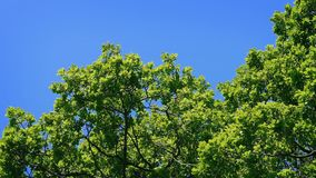 Tree Top In The Sun. Treetop on a bright sunny day stock footage