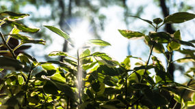 The treetop of bush tree. Sunbeam through the treetop of bush tree Royalty Free Stock Photos