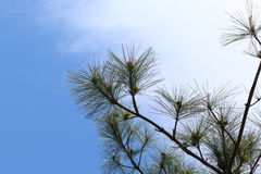 Treetop Close-up. Blue Sky Background Stock Images