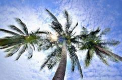 Treetop coconut. Backlit, nclear sky Stock Photos