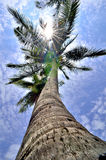 Treetop coconut. Clear sky, backlit Royalty Free Stock Photography