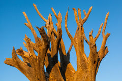 Treetop dead kokerboom Stock Image