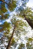 Treetop der Kiefers Stockbild