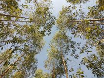 Treetop of eucalyptus tree planting in forest park royalty free stock images