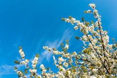 Treetop of a flowering sweet cherry Royalty Free Stock Image