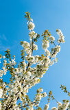 Treetop of a flowering sweet cherry Royalty Free Stock Photos