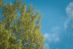 Treetop of green pine trees on sand beach with blue sky in the background at Chao Lao Beach, Chanthaburi Province. Treetop of green pine trees on sand beach Royalty Free Stock Photography