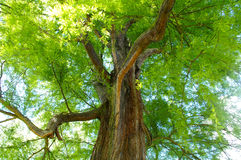 Treetop from the ground Stock Photography
