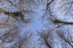 Treetop im Winterwald Stockfotos