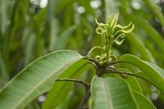 Treetop mango Zdjęcia Stock