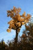 Treetop met geel die gebladerte tegen een blauwe hemel wordt geplaatst royalty-vrije stock afbeelding