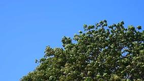 Treetop mit starkem Wind stock video