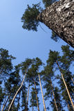 Treetop of pine trees in sunlight Stock Photos