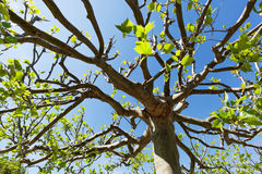 Treetop of a plane tree Stock Photo
